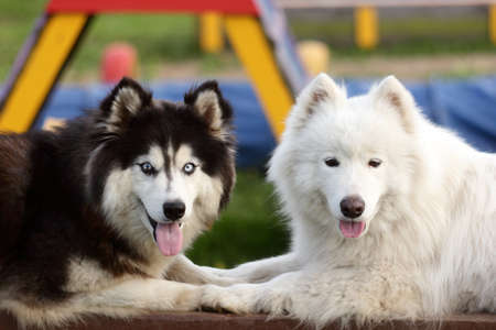 Portrait of a Siberian Husky and Alaskan Malamute Banque d'images
