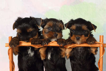 good grooming: Three puppies Yorkshire terrier in a basket