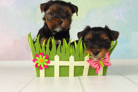 Two adorable puppy Yorkshire Terrier