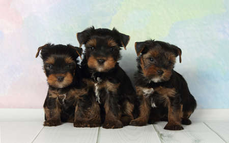 Three adorable puppy Yorkshire Terrier Banque d'images