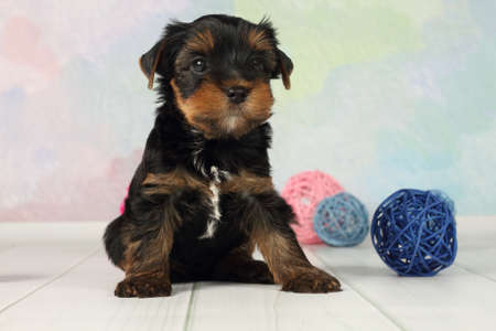 yorky: Portrait Yorkshire terrier puppy and wicker balls