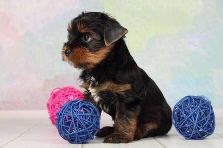 Portrait Yorkshire terrier puppy and wicker balls