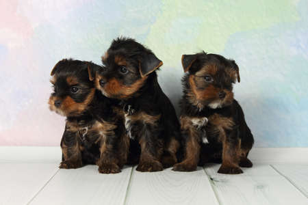 lap dog: Three adorable puppy Yorkshire Terrier Stock Photo