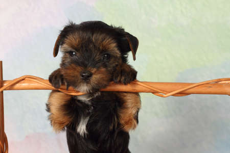 half breed: Yorkshire terrier puppy paws based on crossbar