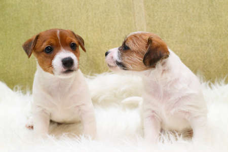 two small breed puppy Jack Russell terrier on a sofa