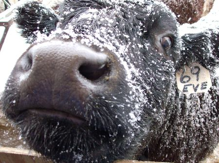 heifers: Curious Cow Stock Photo
