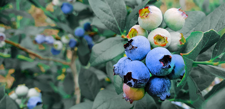 Fresh organic blueberries on the bush. Vivid colors