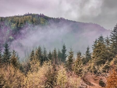 Beautiful green pine forest covered by morning fog, purple smoke rises over the treetops in the Ukrainian Carpathians Archivio Fotografico