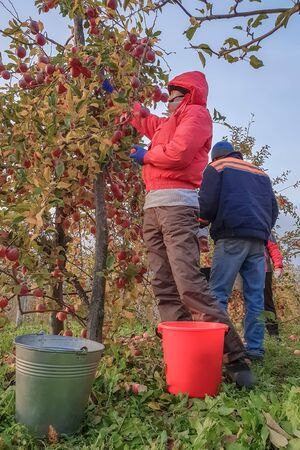 People gardeners collect the ripe apples from the trees in buckets, harvest, harvesting, people dressed in jackets and caps, autumn Archivio Fotografico