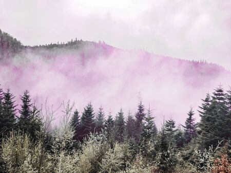 Magic pink smoke or fog over a pine forest. Landscape of wild Ukrainian nature. Forested mountains in smoke. Coniferous forest of Carpathians Mountains. Morning fog above evergreen conifers Archivio Fotografico