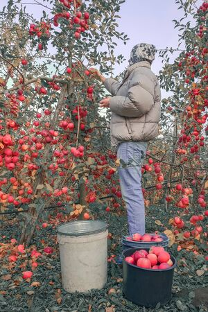 Young man in gray jacket picking apples in buckets, harvesting, orchard