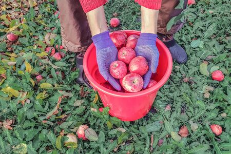 Hands of an apple picker dipped in a bucket of red apples standing on leaves in an orchard