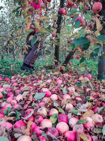 Close-up of ripe red apples fallen to the ground in an orchard, in the background the man is picking apples, harvest