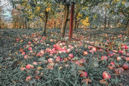 Many apples in apple orchard lying under tree, industrial apples