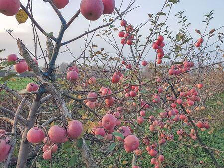 Apple trees. An apple trees full of ripe apples in an orchard