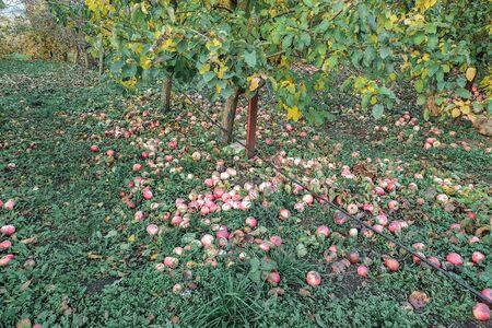 Fallen ripe apples lie on the ground next to the apple tree, autumn harvest