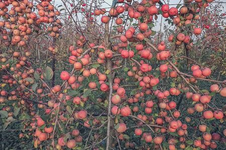 Red ripe apples on a branch of crabapple tree also known as plum-leaved or Chinese apple tree Archivio Fotografico