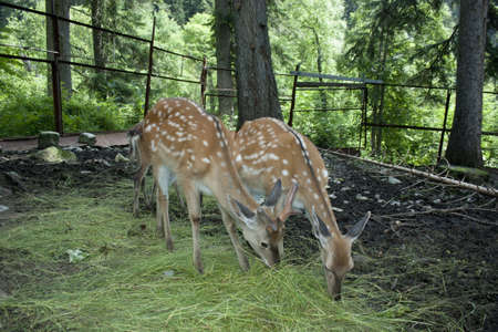 Sika deer in the forest photo