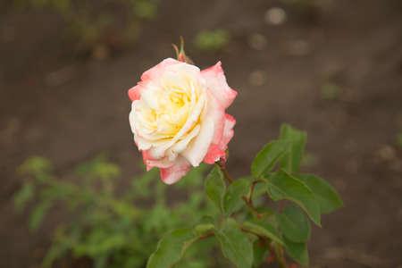 Flowers, Rosebud photo