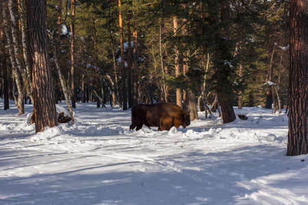 European bison in the winter forest, buffalo bison in natural conditions in the mountain forest. The abandoned kennel-reserve Caucasian bull bison in the coniferous forest.