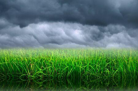 rice farm and stormy sky Stock Photo