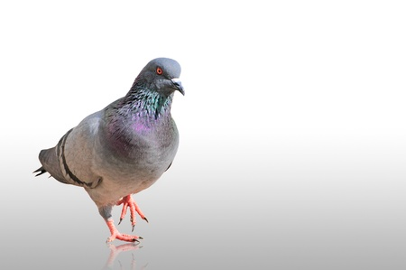 One grey pigeon isolated on white background  Stock Photo