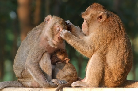 Monkey family. Mother father and baby is sitting in zoo