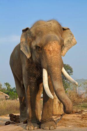 wild animal elephant in thailand