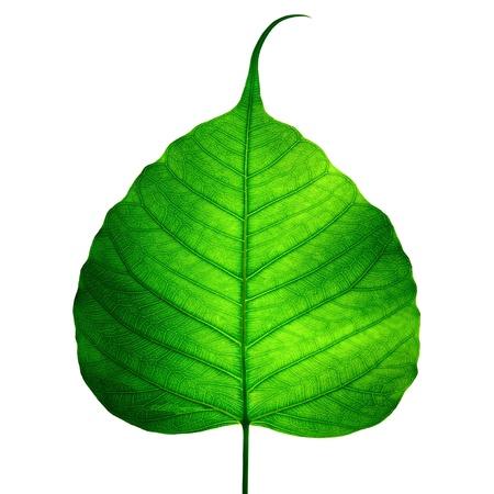 estructura: hoja verde vena (bodhi hoja) sobre fondo blanco Foto de archivo