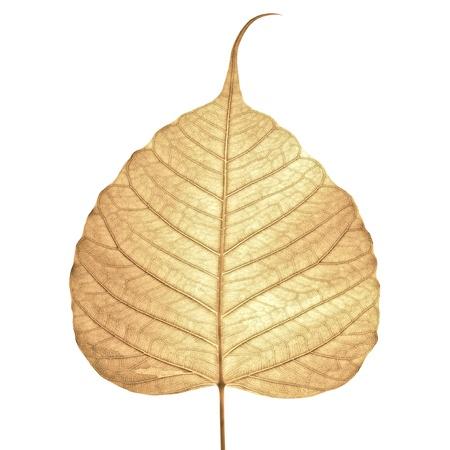 hojas secas: Hoja seca aislada sobre fondo blanco.