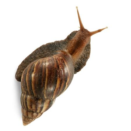 Giant snail on white background  Stock Photo