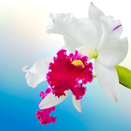 Orchids white and magenta  flowers  (Cattleya ) in flower garden  photo