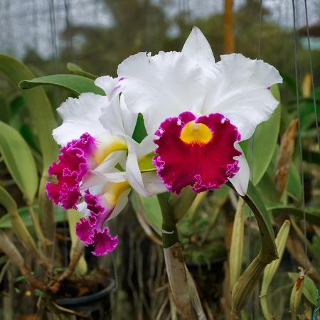 magenta flowers: Orchids white and magenta  flowers  (Cattleya ) in flower garden