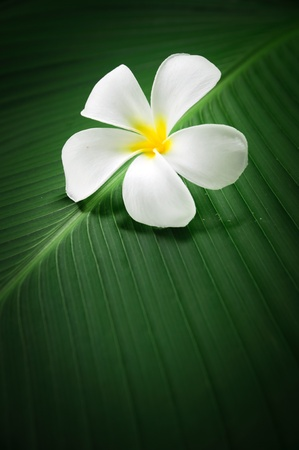 close up of Frangipani on green leaves Stock Photo