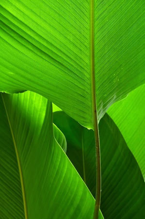 Vein of green leaf large.  Stock Photo - 11308280