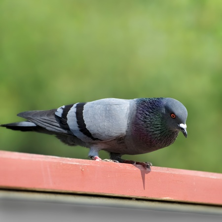 One pigeon sitting on a wooden.