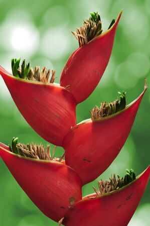 Detail of  flower red heliconia  Stock Photo