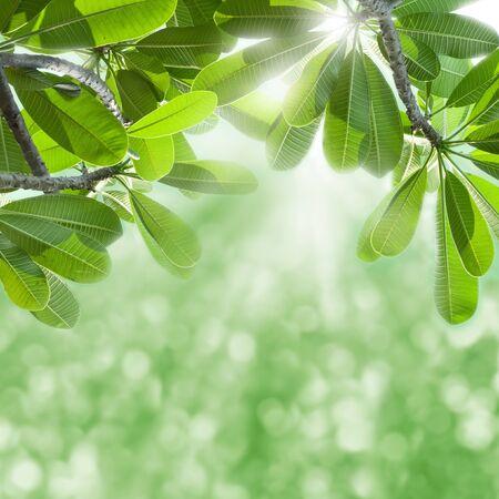 Green leafs of frangipani tree and sun beams   Stock Photo