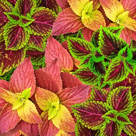 Beautiful Multi Colored of leaves  also known as Painted nettle - coleus  photo
