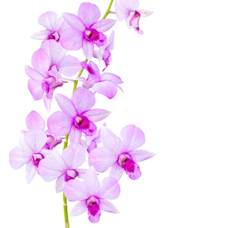 Flowers Orchid    Dendrobium pink    isolated on white background
