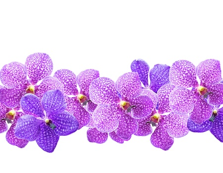 vanda: Vibrant purple tropical orchids flowers  isolated on white background