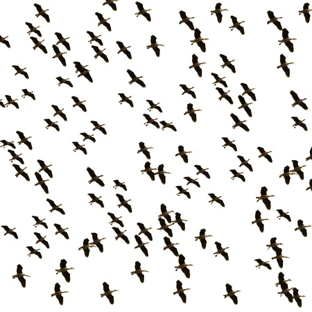 Flock of ducks flying on sky white background Stock Photo - 18252536
