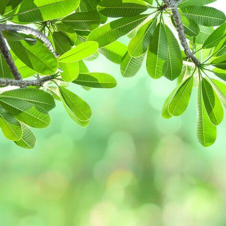 Green leafs of frangipani tree.