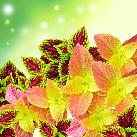 Beautiful Multi Colored of leaves also known as Painted nettle - coleus
