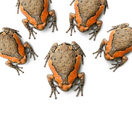 Bullfrog isolated on white background