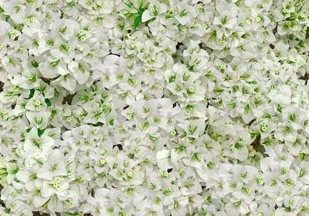 bougainvilleas: Full Frame Close-up Flowers White Of Bougainvilleas.