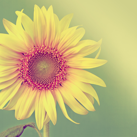 Vintage color sunflowers on green background. Stock Photo