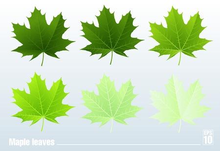 Green maple leaf  Set  Isolated