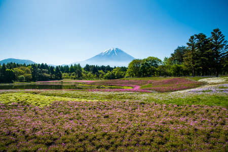 Beautiful landscape, Field of Shibazakura flowers and Snow on the Mt.Fuji with fog at Kawaguchi, Japan