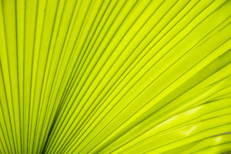 Texture line of green leaves palm Stockfoto